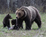 Grizzly 610 with her two Cubs of the Year.jpg
