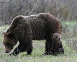 Grizzly 610 with Cub.jpg