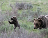 Grizzly Cub Playing with Sage.jpg