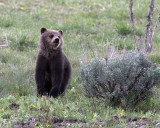 Grizzly Cub in the Sage.jpg