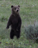 Grizzly Cub Standing.jpg