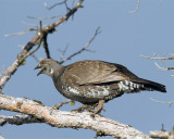 Grouse Hen in a Tree at Lake Butte.jpg