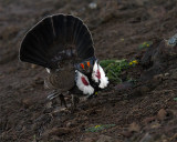 Dusky Grouse Puffing Up.jpg
