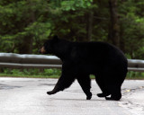 Black Bear in New Hampshire.jpg