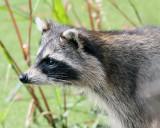Racoon Profile.jpg
