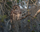 Barred Owl in the Moss.jpg