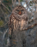 Barred Owl Yawning.jpg