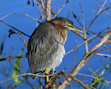 Little Green Heron.jpg
