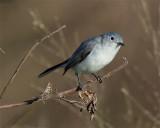 Blue Grey Gnatcatcher.jpg