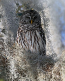 Barred Owl Concealed in the Moss.jpg