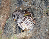 Owl Crouched.jpg