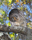 Owl Preening.jpg
