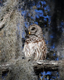Barred Owl at Circle B.jpg