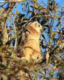 Great Horned Owl Fledgling.jpg
