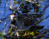 Sora Rail on Marsh Rabbit Run.jpg
