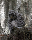 Barred Owl Chick at Ciircle B.jpg