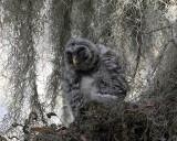 Barred Owl Chick.jpg