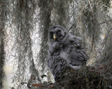 Barred Owl Chick in the Tree.jpg