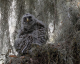 Barred Owl Chick Puffed Up.jpg
