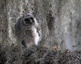 Barred Owl Chick in the Moss.jpg