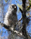 Barred Owl Chick Little Guy.jpg