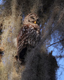 Barred Owl Adult.jpg
