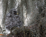 Barred Owl Chick Profile.jpg