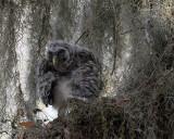 Owl Chick at Circle B.jpg