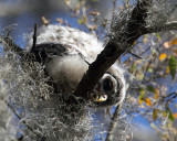Barred Owl Chick Looking Down.jpg