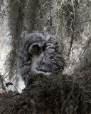 Barred Owl Chick Preening.jpg