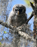 Barred Owl Runt.jpg