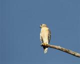 Red Shoulder Hawk on a Snag.jpg