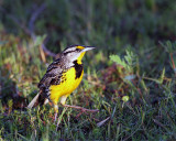 Meadowlark Stepping Out.jpg