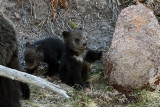 Grizzly Cubs by the Rock.jpg