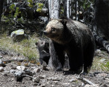 Beryl Springs Grizzly with Cub.jpg
