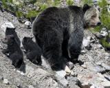 Beryl Springs Grizzly Family.jpg