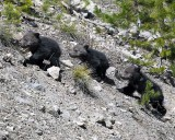 Three Grizzly Cubs.jpg