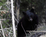 Two Year Old Black Bear by Rainy Lake.jpg