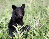 Bear in the Berries.jpg