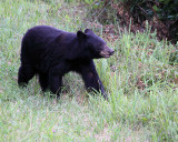 Black Bear in the Tall Grass.jpg