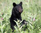 Black Bear Standing.jpg