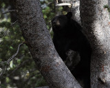 Black Bear Sow on the Dunraven.jpg