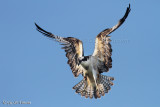 Magestuous Osprey