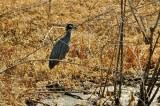 Hunting - Yellow Crowned Night Heron