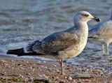 Gulls of Fort Supply Lake