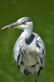 Grey Heron, possibly bad-tempered