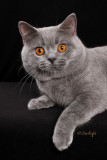 Castlkatz Niffler of Yamatorising (British Shorthair)