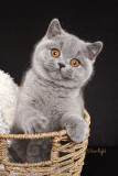 HMS Skylar of Bewitched (British Shorthair)