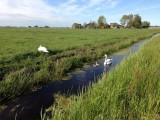 Swans in Waterland