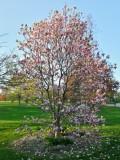 Chicago purple flower tree, Spring 2013